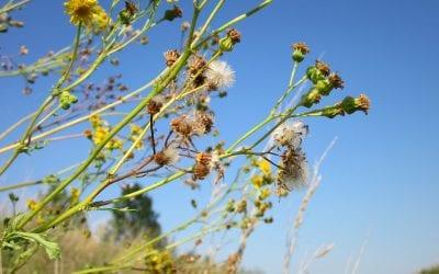 Is Ragweed Season Getting Worse?