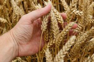 Wheat Allergy and Gluten Intolerance
