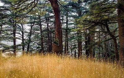 Mountain Cedar Strikes Again